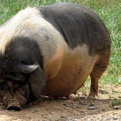 Розведення і годування в`єтнамських свиней