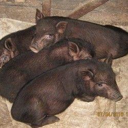 розведення в`єтнамських свиней