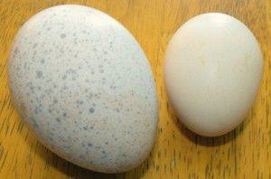 Зберігання яєць індички