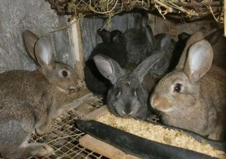 Зміст кроликів в домашніх умовах