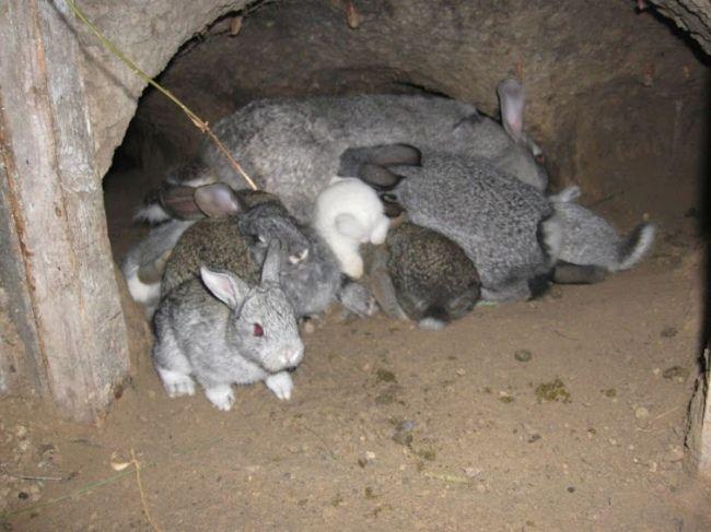 kak razvodit` krolikov v jame