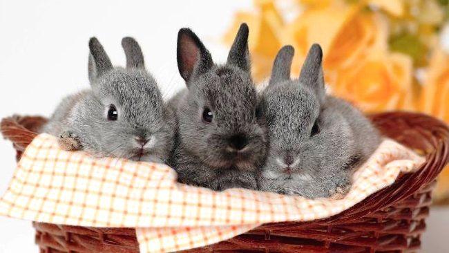 розведення кроликів