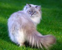 в`язка невських маскарадних кішок