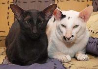 орієнтальний кіт в`язка