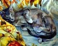 орієнтальна кішка вагітність