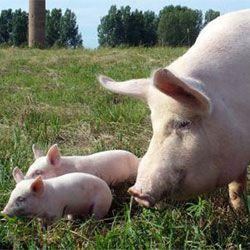 Велика біла порода свиня з поросятами