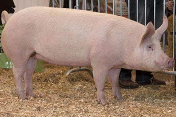 Свиня породи велика біла