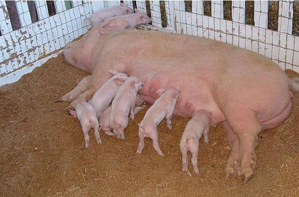 Свиноматка і поросята великої білої породи