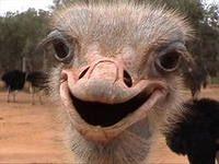 Розведення страусів як бізнес