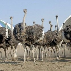 Розведення страусів на україні перспективний бізнес