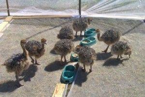 Розведення страусів