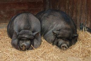 В`єтнамські свині останнім часом починають ставати все більш популярними