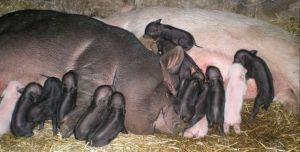 В`єтнамські свиноматки вельми плідні