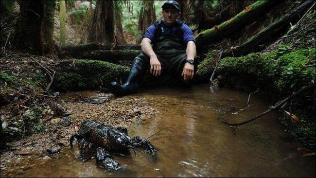 Найбільший з прісноводних раків тасманський