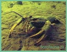 Речнойрак / astacus fluviatilis