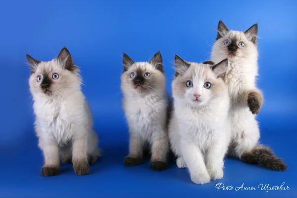 Регдолли дуже довірливі і не очікують нічого поганого ні від людей, ні від собак, ні від інших кішок.