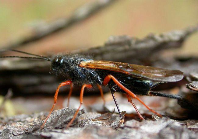 Рогохвіст (Siricidae).
