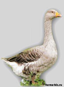 Роменська порода гусей