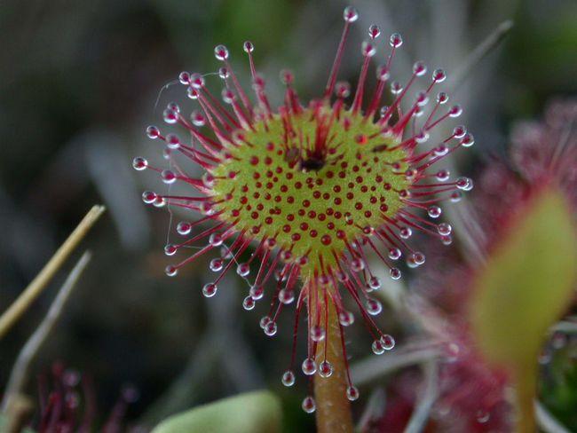 Росичка, мухоловка, непентес, сарраценія - комахоїдні рослини