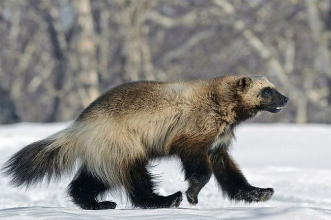 Росомаха - відмінний ходок, широкі ступні дозволяють їй не провалюватися в глибокий сніг