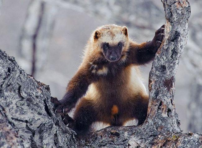 Росомаха відмінно лазить по деревах