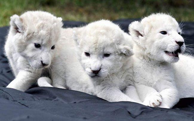 Ростовський зоопарк отримав у подарунок білого лева.