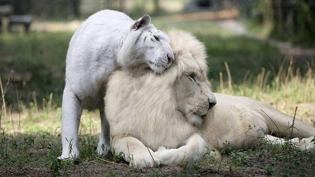 Білі леви, як і білі тигри - рідкісні тварини.
