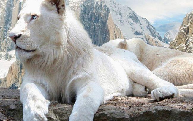 Білий лев - величне і красиве тварина.
