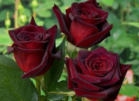 Роза чорна магія, фото квітки, і його опис, поради по догляду