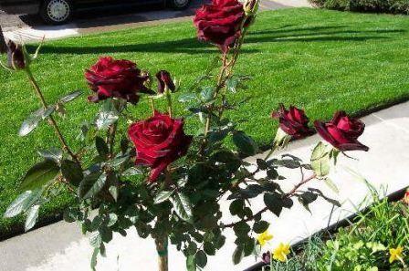 Роза чорна магія опис фото