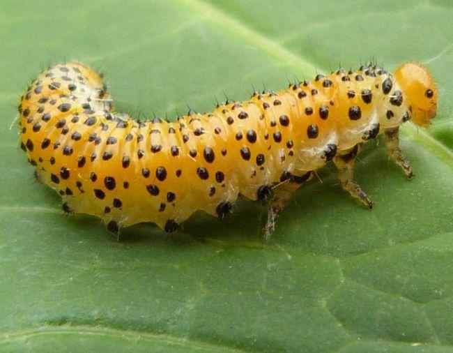 Личинки старшого віку - синьо-зелені з помаранчевої спиною.