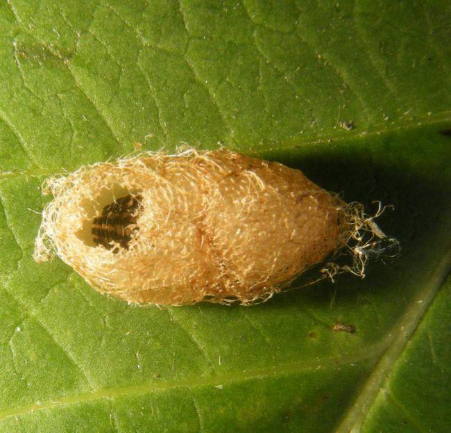Личинки з яєць однієї кладки з`являються в різний час - протягом однієї-трьох діб.
