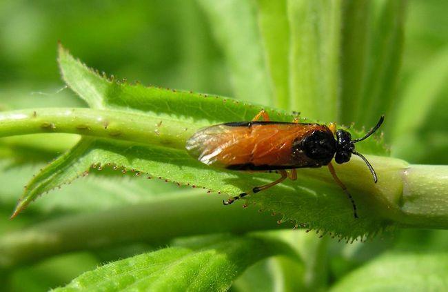 До старшого віку личинки розходяться по всій рослині, на яких харчуються листям і черешками.