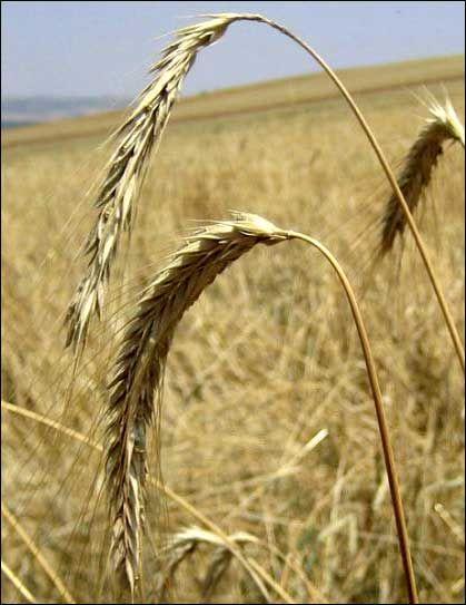 Жито, як сидерат, або навіщо вам сіяти жито на своїй ділянці?