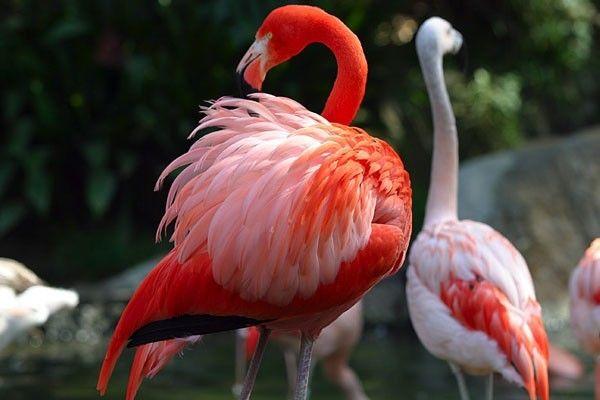 Самець фламінго більш яскравий, з насиченим червоним оперенням