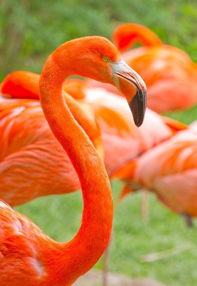 Фламінго - можливо власники найяскравішого оперення серед всіх птахів