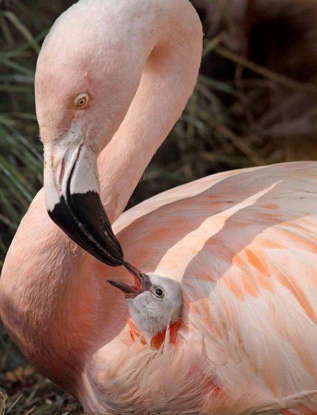 Фламінго надзвичайно дбайливі батьки. Можливо це тому, що їх пташенята дорослішають тільки до 5 років.