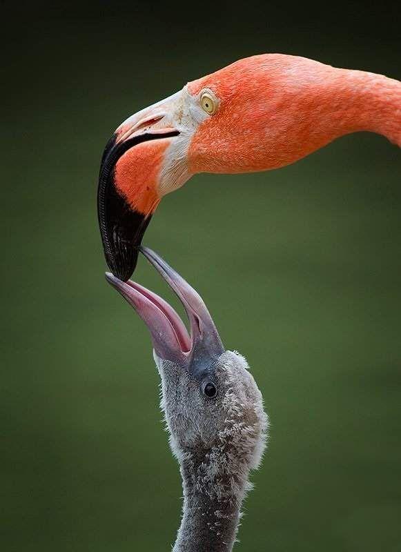 Сірий колір не скоро зійде з пташеня рожевого фламінго.