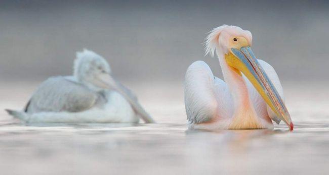 Рожевий пелікан - гніздиться кочующая і перелітний птах.