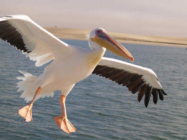 Народне російська назва - баба-Бабура, баба-птиця.