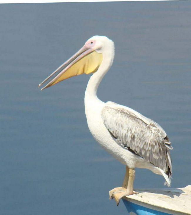 Рожеві пелікани - моногамні птахи.