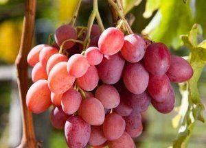 Рожевий виноград: опису популярних сортів, поради по догляду і посадці