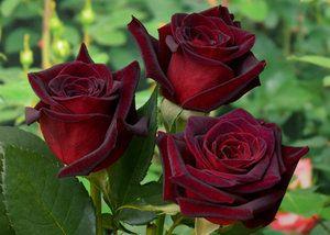 Троянди в саду: правила посадки, обрізки і вирощування квітки
