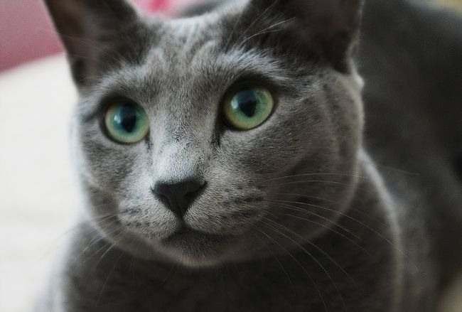 Російська блакитна кішка