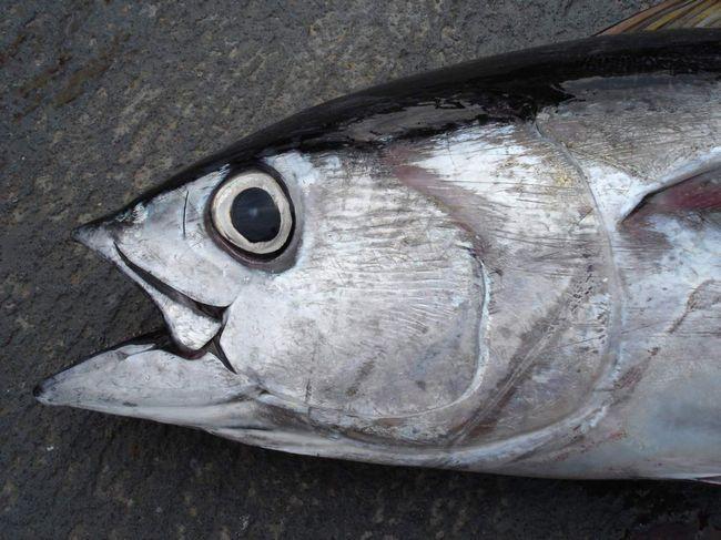 Чорний тунець має характерне забарвлення.