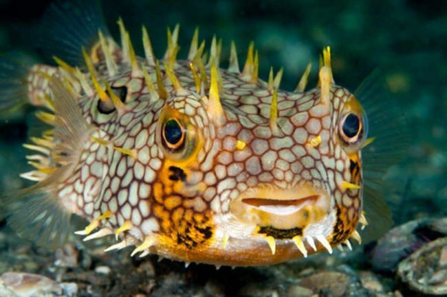 Єжи-риби (Diodontidae).