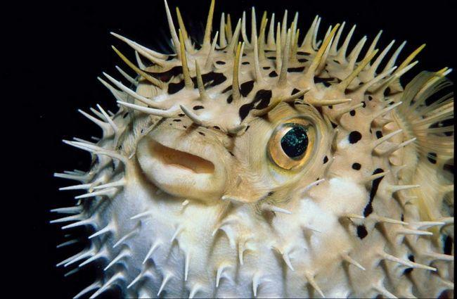 Сімейство їжаків-риб налічує до 8 пологів, поширених практично у всіх тропічних морях
