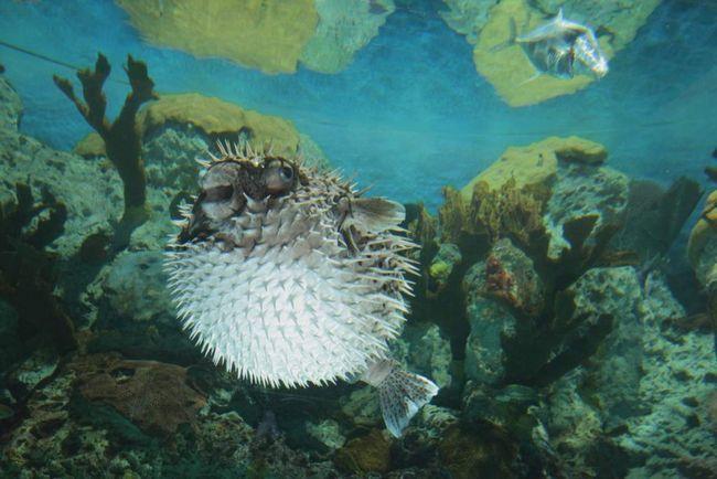 Так як риби їжаки повільно плавають, вони не можуть рятуватися від ворогів втечею, тому вони і виробили свою зброю самозахисту.