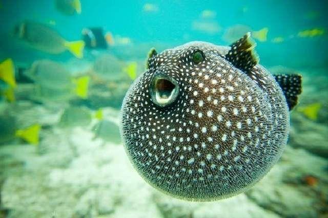 Полюють риби їжаки ночами, в зв`язку, з чим мають дуже гострий зір.