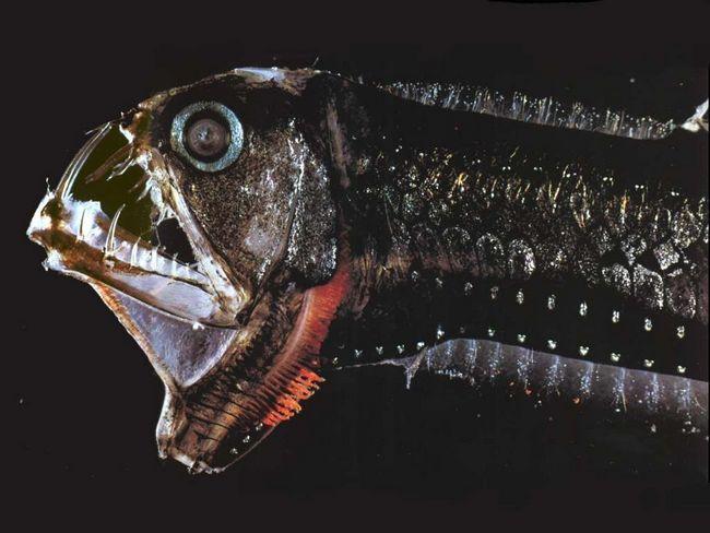 Риба-гадюка